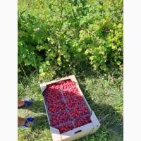 Продам малину оптом с сада. Урожай 2019 года
