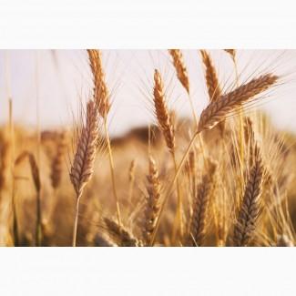 Продам посевной материал озимой пшеницы, сорт Лидия суперэлита Краснодарская селекция
