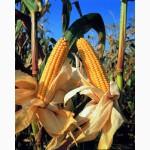 Кукуруза «монсанто» (monsanto)