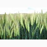 Семена пшеницы озимой - сорт Золотоколоса. 1 репродукция