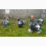 Инкубационное яйцо Мраморный Кохинхин
