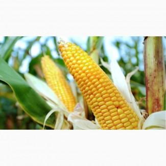Семена кукурузы Монблан(пионер)ФАО-320