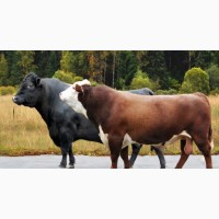 Покупаю бычков 400 - 450- 500 кг