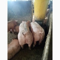 свиньи петренко фото наше время недостаточно