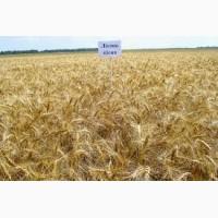 Озимая пшеница Лесная Песня семена элита, 1 репродукция, урожай 2019 года
