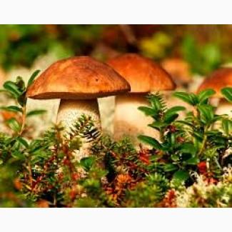 Закупаем лесные грибы: белые, лисички, подосиновики