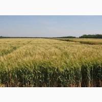 Семена твердой пшеницы озимой Гардемарин