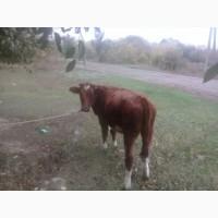 Закупка коров быков по Луганской области