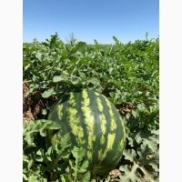 Продам арбузы, новый урожай
