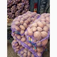 Закупка товарной картошки оптом 500 тонн