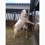 Продадим козлят
