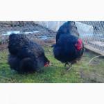 Инкубационное яйцо черный Орпингтон