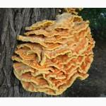 Маринованные грибы латипурусы (трутовик серно-желтый). 80 грн/ 0, 5 л