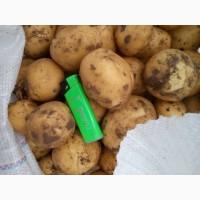 Картофель оптом от прямого поставщика сорт Ривьера семенная