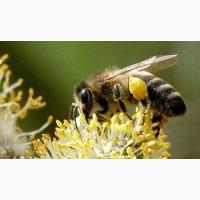 Пчелопакеты, Пчелосемьи, руты - Харьков