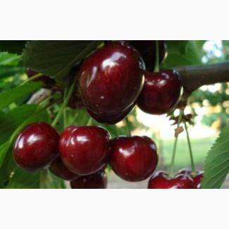 Черешня, вишня из молодого сада
