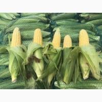 Продам сладкую кукурузу сорт Юрмала, Вега