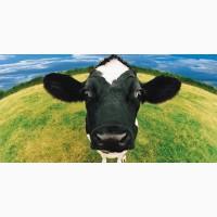 Премікс для відгодівлі биків