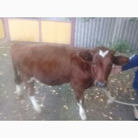 Закупка КРС коров быков по выгодным ценам!! Срочно