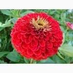Продам семена Цинния изящная Лилипутэк, красная