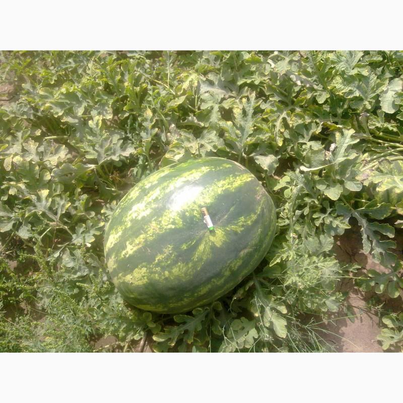 Фото 6. Продаю семена арбуза F2 Топган и Талисман