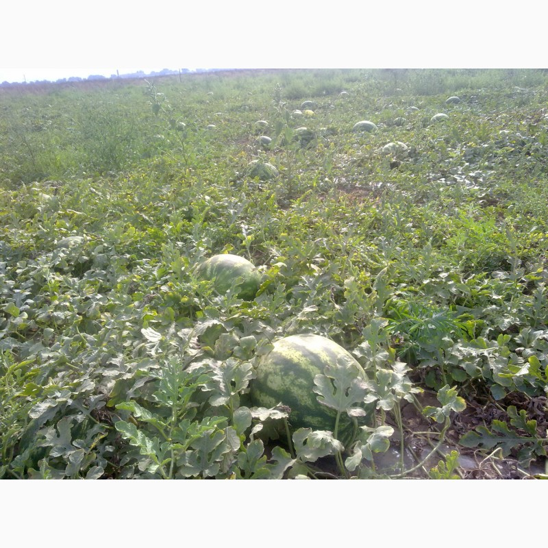 Фото 7. Продаю семена арбуза F2 Топган и Талисман