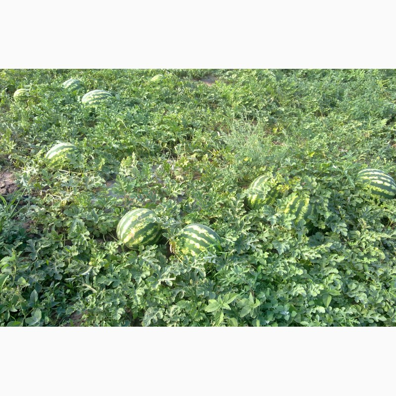 Фото 11. Продаю семена арбуза F2 Топган и Талисман