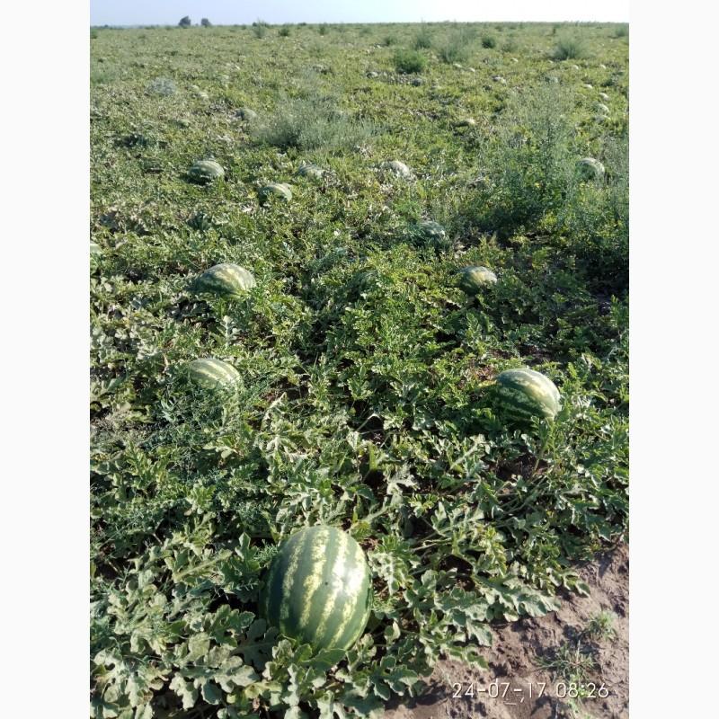 Фото 8. Продаю семена арбуза F2 Топган и Талисман