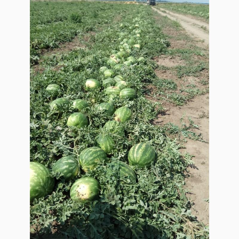Фото 10. Продаю семена арбуза F2 Топган и Талисман