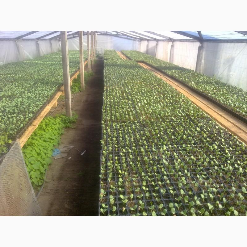 Фото 4. Продаю семена арбуза F2 Топган и Талисман