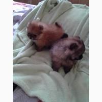 Предлагаются щенки померашки на ладошку
