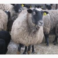 Романовские овцы Экспорт в Турцию