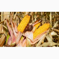 Гібрид насіння кукурудзи Яніс (ФАО-270)