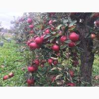 Продам яблока зимнего сорта Айдарет