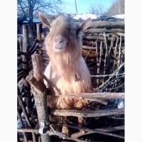 Заананский козёл