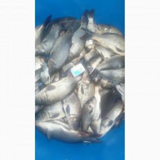 Зарибок коропа - 250 грам