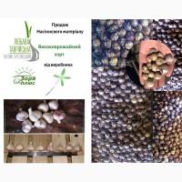 Посевной материал высокоурожайный сорт, семена чеснока от производителя