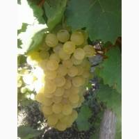 Продам білий винний виноград