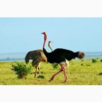Страусята 6-7 месяцев Африканские