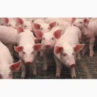 Продаэмо поросят з свинокомплекса на откорм м#039;ясних порід