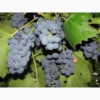 Куплю виноград молдова киев