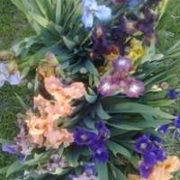 Карликовые ирисы 15 расцветок